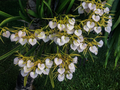 Brassavola nodosa orchid.png