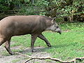 Brazilian tapir.JPG