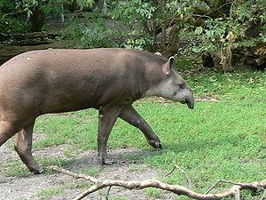 A anta (Tapirus terrestris) � um dos animais do Cerrado