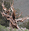 Bristlecone dramatic dead ancient.jpg