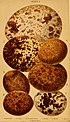 British birds' eggs and nests - popularly described (1870) (14732227536).jpg
