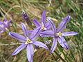Brodiaea californica close-up2.jpg