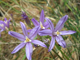 Brodiaea californica close-up2.jpg