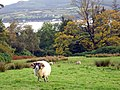 Brodick - sheep above Brodick Bay - geograph.org.uk - 265385.jpg