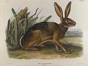 Hare - Brooklyn Museum - California Hare - John J. Audubon