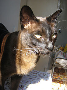 Brown Burmese Cat Headshot.jpg