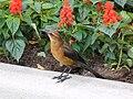 Brownbird.jpg