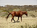 Brumby, near Long Plain Road, NSW.jpg