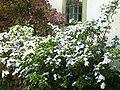Brunfelsia uniflora 2007a.jpg