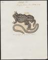 Bufo fuscus - 1700-1880 - Print - Iconographia Zoologica - Special Collections University of Amsterdam - UBA01 IZ11500247.tif