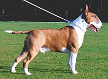 Bull Terrier Chico 10.jpg