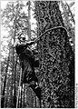 Bundesarchiv Bild 183-1986-0909-002, Güstrow, Zapfenernte, Zapfenpflücker.jpg