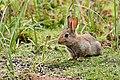 Bunny - RSPB Sandy (34512809755).jpg