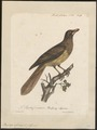 Buphaga africana - 1825-1834 - Print - Iconographia Zoologica - Special Collections University of Amsterdam - UBA01 IZ15800103.tif