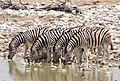 Burchell's zebra, Okaukuejo Etosha, Namibia.jpg