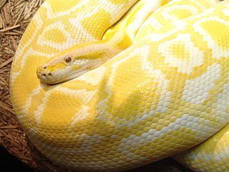 "Amelanism - Often called ""albino"", this amelanistic python owes its yellow color to unaffected carotenoid pigments."