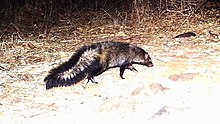Bushy-tailed mongoose - Snapshot Safari Ruaha1.jpg
