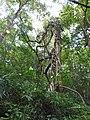 Butea parviflora-2-kottooor-kerala-India.jpg