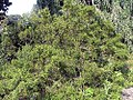 Buxus sinica insularis 0zz.jpg
