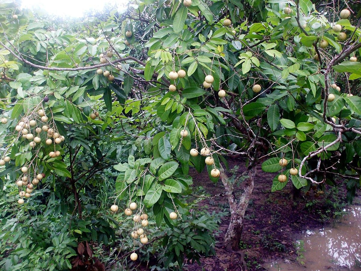 Dimocarpus longan - Wikidata
