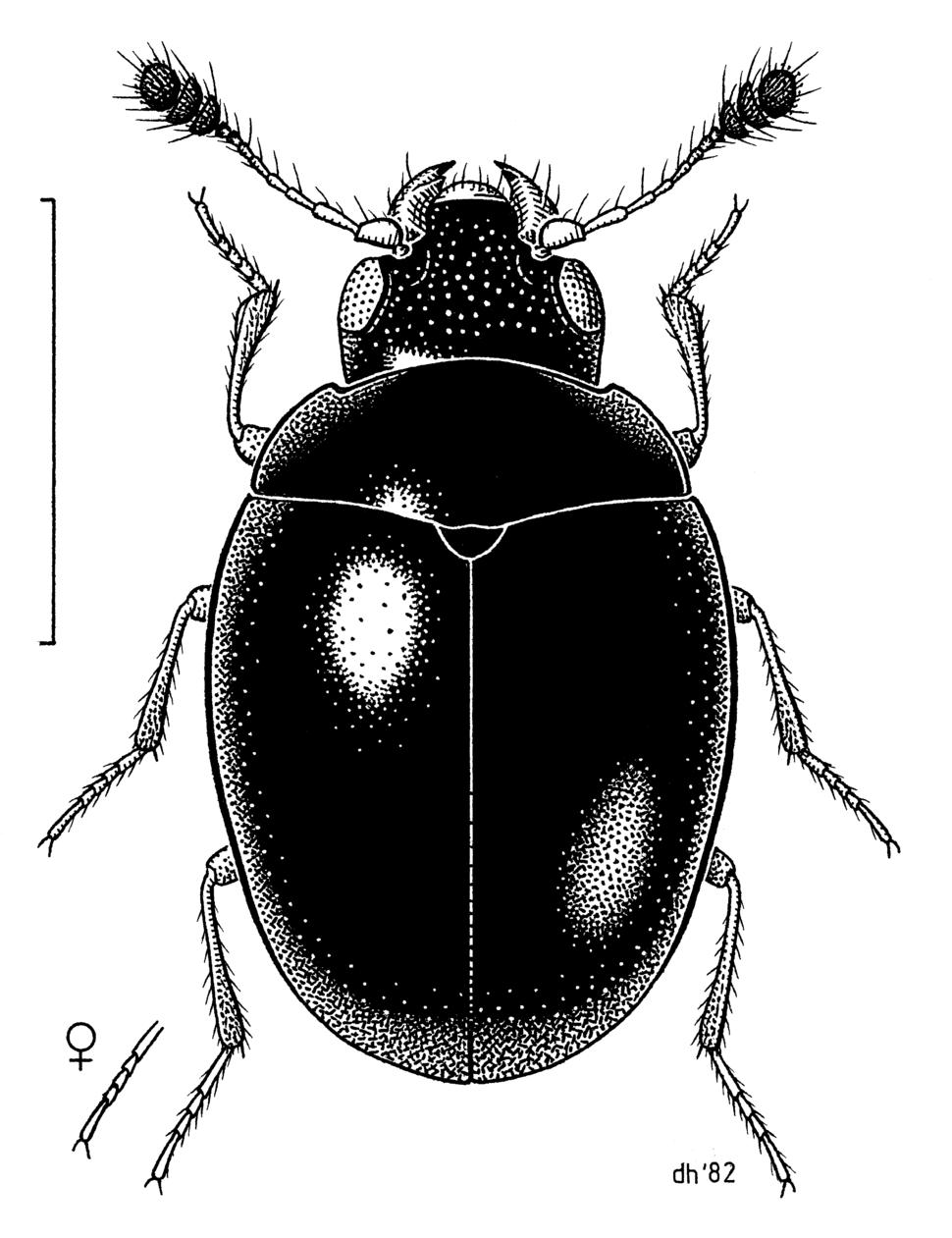 COLE Cyclaxyridae Cyclaxyra politula