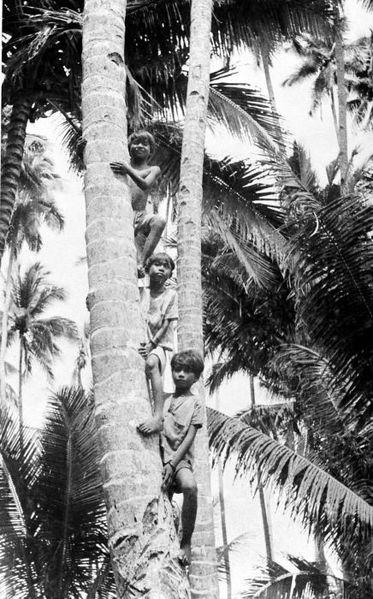 File:COLLECTIE TROPENMUSEUM Molukse Alfoeren kinderen klimmen in palmbomen Halmahera TMnr 10005655.jpg