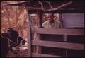 COW ON A FARM NEAR LEAKEY, WAITING TO BE DE-HORNED. NEAR SAN ANTONIO - NARA - 554948.tif