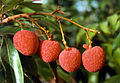 CSIRO ScienceImage 2309 Lychees.jpg
