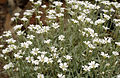 CSIRO ScienceImage 3262 White flowers Binalong NSW.jpg