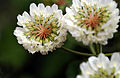 CSIRO ScienceImage 3328 White Clover Trifolium repens.jpg