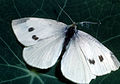 CSIRO ScienceImage 389 Cabbage White Butterfly Pieridae Family.jpg