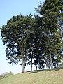 Caesalpinia ferrea-1.JPG