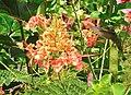 Caesalpinia pulcherrima(Inflorescence).jpg