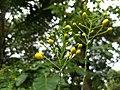 Caesalpinia pulcherrima, (yellow) Pride of Barbados, Settimandaram .jpg