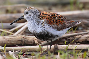Per Martin-Löf - The Dunlin (Calidris alpina)