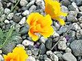 California Poppy (2631621416).jpg