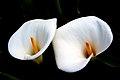 Calla Lilies. (9178812651).jpg