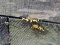 Calocera coronea1.jpg