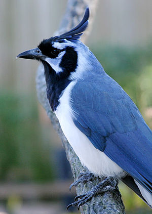 Black-throated magpie-jay - Image: Calocitta colliei PCCA20051227 1964B