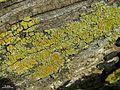 Caloplaca epiphylla - Flickr - pellaea.jpg