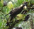Calyptorhynchus funereus -Rocky Cape National Park-8.jpg