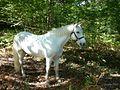 Camargue (horse) Carramba.jpg