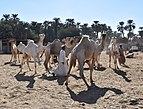 Camel market at Daraw, photo by Hatem Moushir 34.jpg