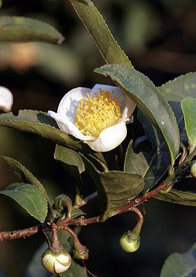 Teestrauch (Camellia sinensis)