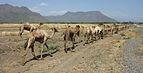 Camels in Ethiopia 02.jpg