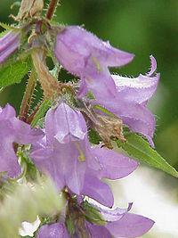 Campanula grossekii2