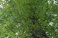 Campsis grandiflora 3zz.jpg