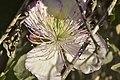 Capparis spinosa 03 02.jpg