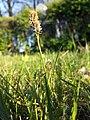 Carex caryophyllea sl29.jpg