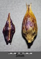 Carex melanostachya sl47.jpg